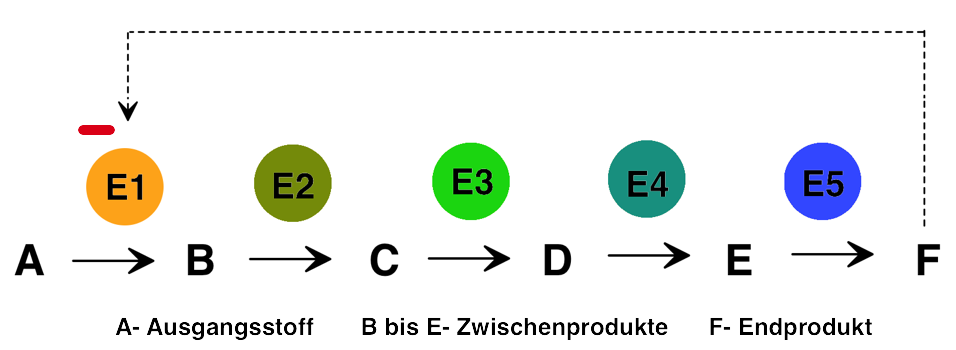 Enzyme Endprodukthemmung