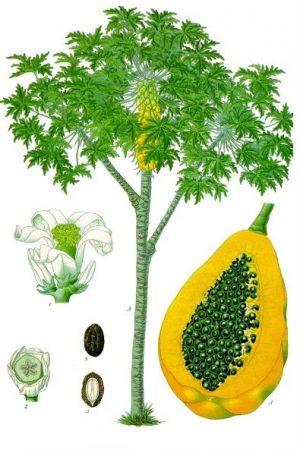 Enzym Papaya