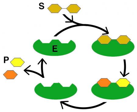 Enzym Kreislauf